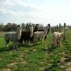 013-ken-den-alpaca_0